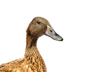 Brown Khaki Campbell Duck On A White Background.