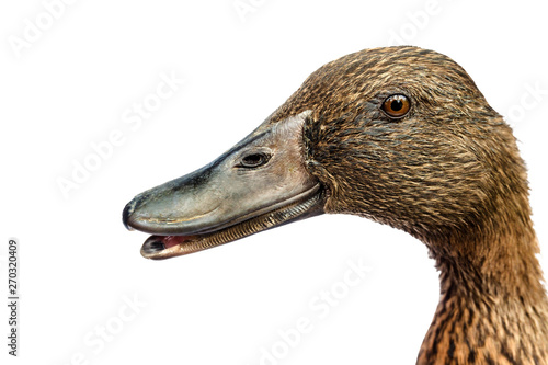 Photo  Brown Khaki Campbell duck on a white background.