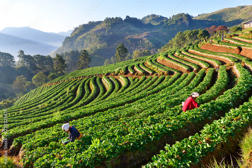 Fototapety, obrazy: Row of green-tea trees in farm