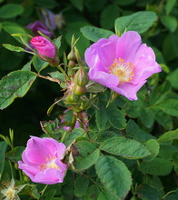 Incredible Beautiful And Fragrant Rosa Rubiginosa Flower On Green Foliage Background. The Tea Made From The Hips Of This Rose Is Very Popular As A Healthy Beverage.