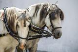 Fototapeta Konie - horse in harness