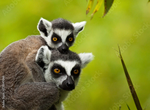 Katta (Lemur catta), Mutter mit Kind Canvas Print