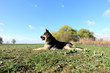 German Shepherd lying on the field