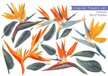 Vector Tropical Set Of Strelitzia Reginae, Tropical Flowers And Leaves. Vector, Isolated On White. Realistic Style, Hand Drawn. South African Plant, Called Crane Flower Or Bird Of Paradise.