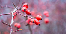 Red Rose Hips On A Bare Branch In The Autumn Forest_
