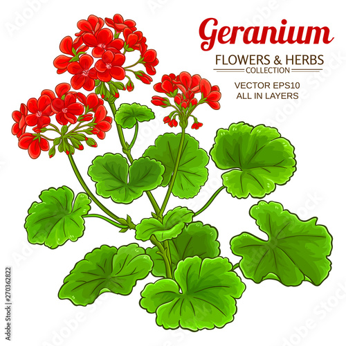 Photo geranium plant illustration