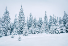 Bright Winter Morning In Mountain Forest With Snow Covered Fir Trees. Splendid Outdoor Scene, Happy New Year Celebration Concept. Artistic Style Post Processed Photo.