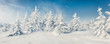 Leinwanddruck Bild - Fabulous winter panorama of mountain forest with snow covered fir trees. Colorful outdoor scene, Happy New Year celebration concept. Beauty of nature concept background.