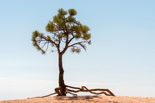 Trees In Bryce Canyon In The U...