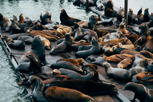 Many Seals Resting In A Pier In The San Francisco Bay