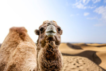 Camel And Summer Sand