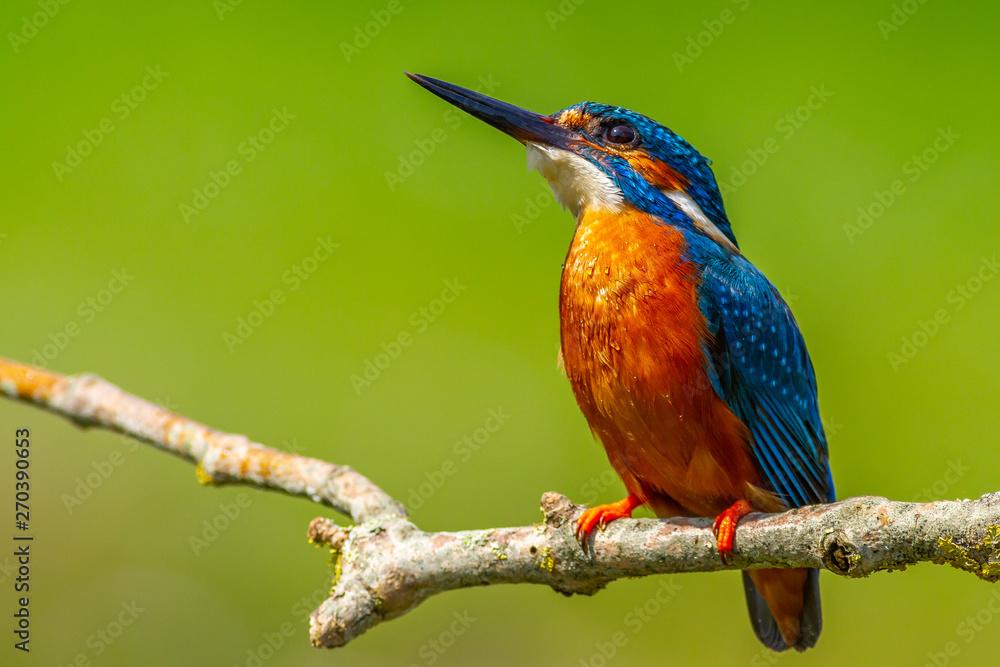 Fototapety, obrazy: kingfisher (Alcedo atthis)