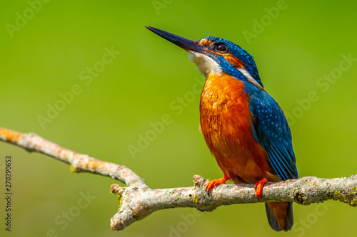 Spoed Foto op Canvas Vogel kingfisher (Alcedo atthis)