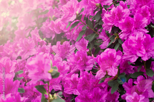 Canvas Prints Azalea Azalea flowers. Pink azalea