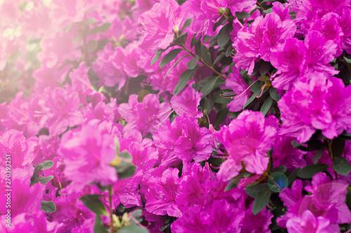 Azalea flowers. Pink azalea