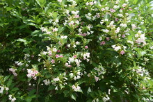 Japanese Weigela Flowers