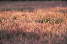 Tall Grasses In Meadow In Spring In Evening Sunlight.