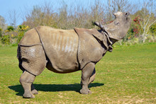 Closeup Indian Rhinoceros (Rhinoceros Unicornis) From Profile And Lifting The Head