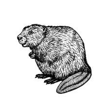 Hand Drawn Beaver. Vector Sketch.
