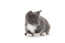 Gray And White Kitten On White