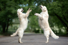 Two Dogs Dancing On The Street In Summer