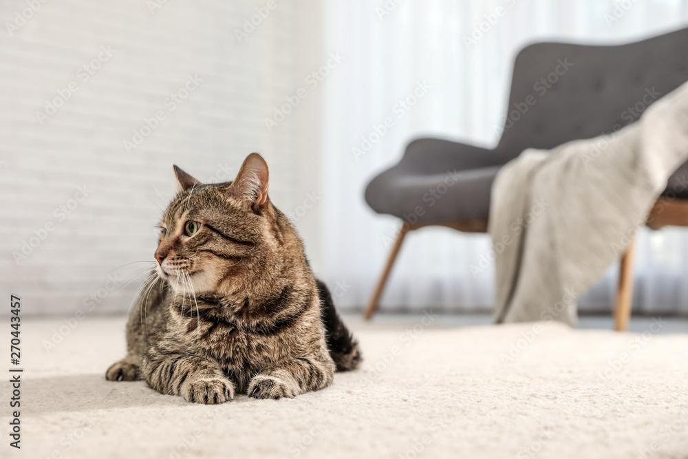 Fototapety, obrazy: Tabby cat on floor in living room