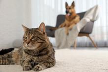 Tabby Cat On Floor And Dog On ...