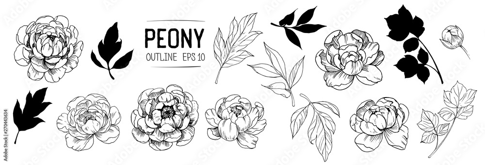 Fototapeta Set of peonies outlines with leaves. Floral elements for design. Vector. Isolated