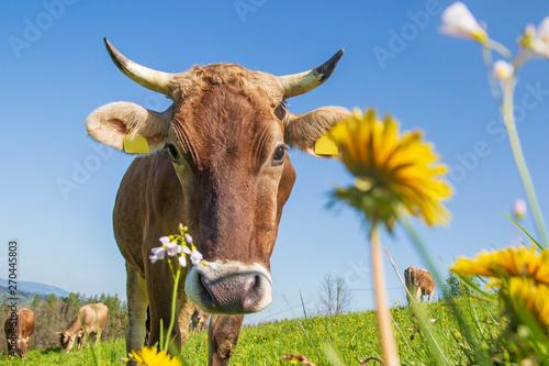 Aluminium Prints Cow Kuh - Allgäu - Braunvieh - Hörner - Blumen - Frühling