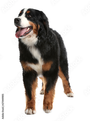 Poster de jardin Vache Funny Bernese mountain dog on white background