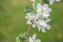 Honey Bee Pollinating Apple Blossom In Spring Garden