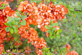 Fototapeta Kwiaty - Pomarańczowe kwiaty pigwowca japońskiego