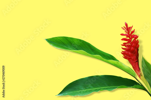 Photo Red Ginger, Alpinia purpurata Flower with Fresh Tropical Green Leaves on Yellow