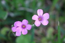 Macro Shot Of A Couple Of Small Pink Purple Wildflowers In Texas
