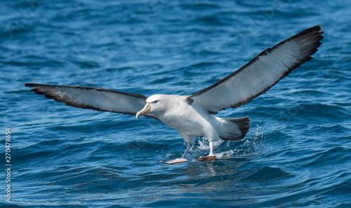 Photo Albatross in flight over Water