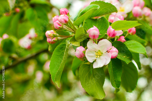 apple tree branch with flowers close up. The concept of spring and freshness, garden and harvest.