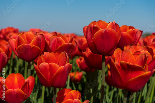 Printed kitchen splashbacks Tulip Super closeup macro shot of a red dutch tulp with other tulps in the blurred background. Perfectly blue sky and bright sunlight with vibrant colors of tulp flowers.