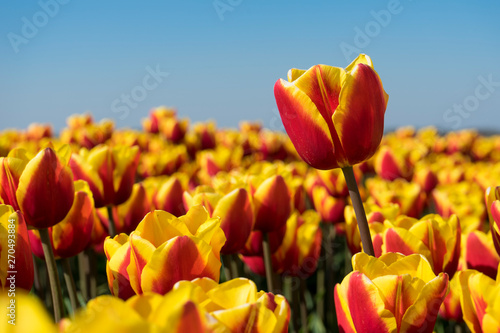 Wall Murals Tulip Super sharp close up macro shot of amazing red, yellow holland dutch tulp flower. Perfectly bright sunlight and colorful red and yellow tulp. One macro flower with field of tulps in blurred.