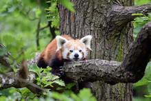 Red Panda Ailurus Fulgens Lying On Branch Closeup
