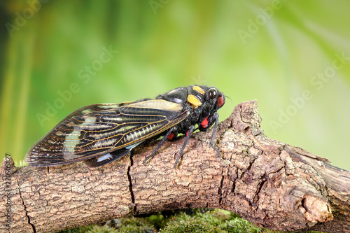 Cicada : Blue butterfly-wings cicada (Distantalna splendida) is a cicada species from southeast Asia (Thailand, Myanmar and India) Butterfly cicadas with broad multicolor wings Wallpaper Mural
