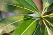 Plumeria - a green leaves close-up in natural light.
