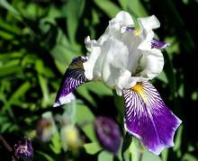 Blooming Violet White Striped Iris