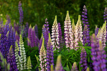 Purple And White Lupins In A Field Against The Backdrop Of The Forest. Glade Of Spring Flowers. Beautiful Background