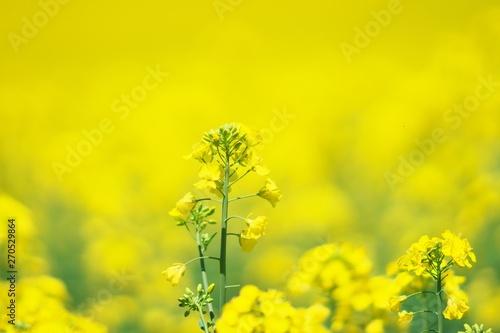 Tuinposter Zwavel geel 絶景の菜の花畑