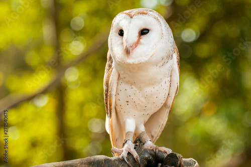 Spoed Fotobehang Uil Beautiful Barn Owl