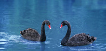 Beautiful Black Swans On Water. Two Black Swans Romantic Together, Swimming On Lake. Black Swans Mating Dance. Beautiful Wildlife Concept.