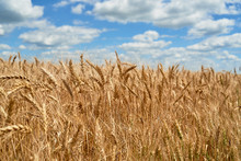 Golden Wheat Field And Perfect Blue Sky With Clouds, Copy Space. Ripe Wheat Field Background, Free Space. Agriculture, Agronomy And Farming Background. Harvest Concept
