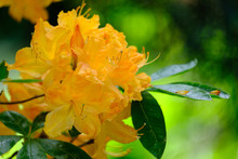 Beautiful Flowering Rhododendron