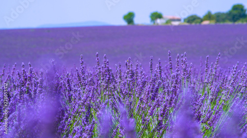 CLOSE UP: Vivid aromatic lavender bushes stretch out into the vast countryside. #270553412