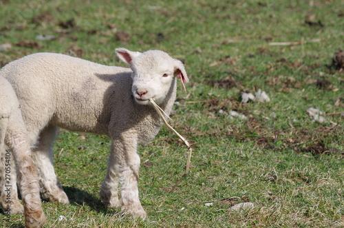 Foto かわいい仔羊